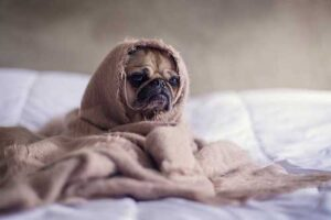 Pug in a blanket for pet hair removal tips